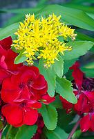 Geranium blooms contrast with Stonecrop yellow, Grand View LandTrust Park, Ellison Bay, Door County, Wisconsin
