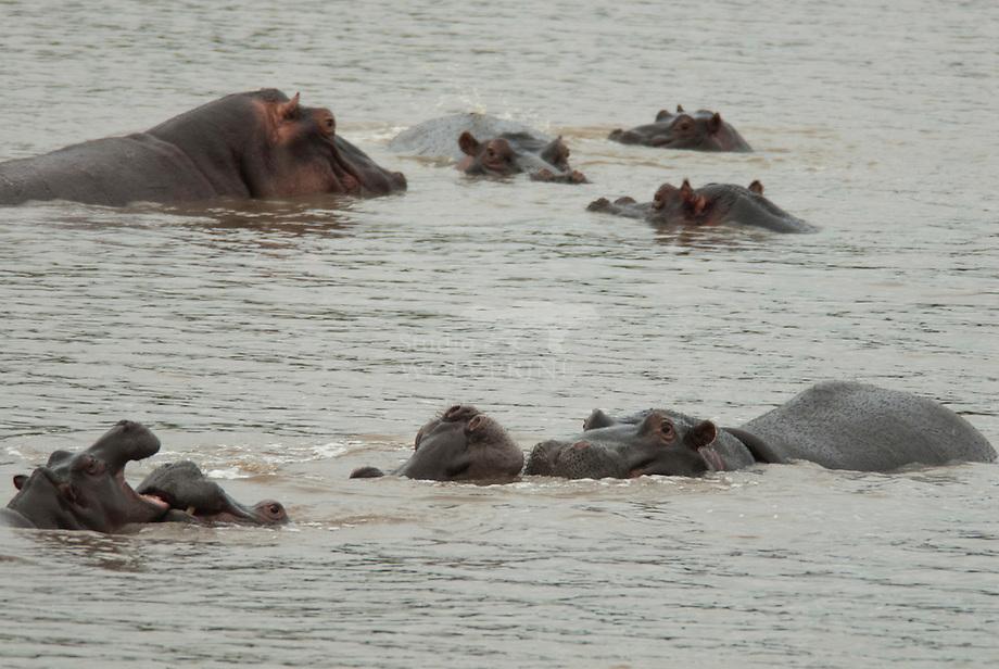 Nijlpaard (Hippopotamus amphibius) kudde