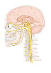 trigeminal nerve and branches