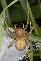 Dornfinger, Ammen-Dornfinger, Dornfinger-Spinne, an ihrem Nest, Gespinstsack, Giftig, Giftspinne, Gifttier, Cheiracanthium punctorium, yellow sack spider, Sackspinnen, Clubionidae