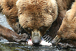 alaska brown bear sow and cubs eating salmon