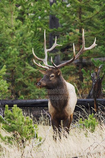 Elk, Wapiti, Cervus elaphus, bull,  Yellowstone NP,Wyoming, USA