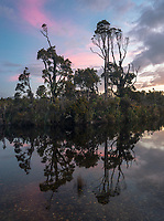 Kahikatea trees reflecting in Gillespies Lagoon at sunset, Westland Tai Poutini National Park, West Coast, South Westland, UNESCO World Heritage Area, New Zealand, NZ