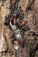 Hirschkäfer, Männchen, leckt Baumsaft an einer Eiche, Hornschröter, Hirsch-Käfer, Lucanus cervus, Stag beetle, male, Schröter, Lucanidae, Stag beetles