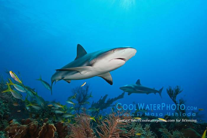 Caribbean reef sharks, Carcharhinus perezi, West End, Bahamas, Atlantic Ocean