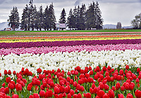 Tulip fields and farm house. Tulip Town. Mt. Vernon. Washington