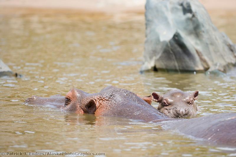 Hippopotamus, Hippopotamus amphibius, Serengeti National Park, Tanzania, East Africa