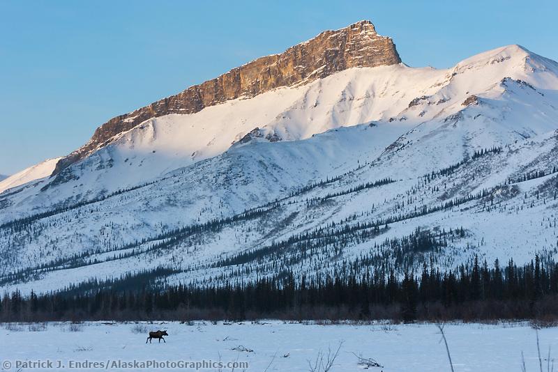 Moose crosses the frozen Dietrich river, Brooks range, arctic, Alaska.