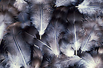 Fluffy downy feathers, grey and white colour, soft. ....