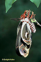 LE03-038x  Cecropia Moth - adult emerging from cocoon - Hyalophora cecropia
