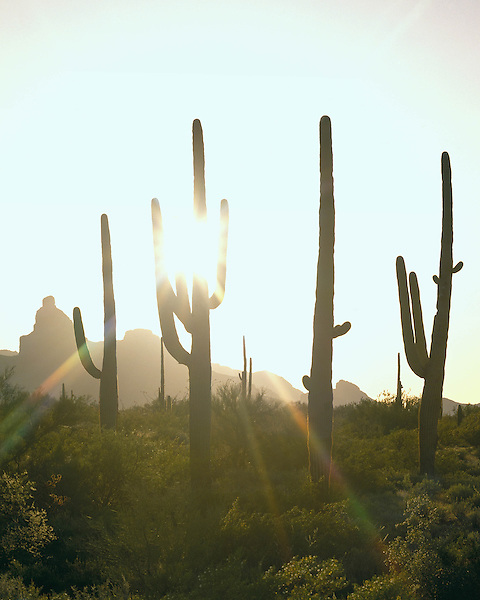 The Ajo Mountains and Saguaro cactus at sunset, Organ Pipe Cactus National Monument, Arizona, USA. .  John offers private photo tours in Arizona and and Colorado. Year-round.