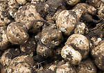 Close up of freshly dug globe artichokes