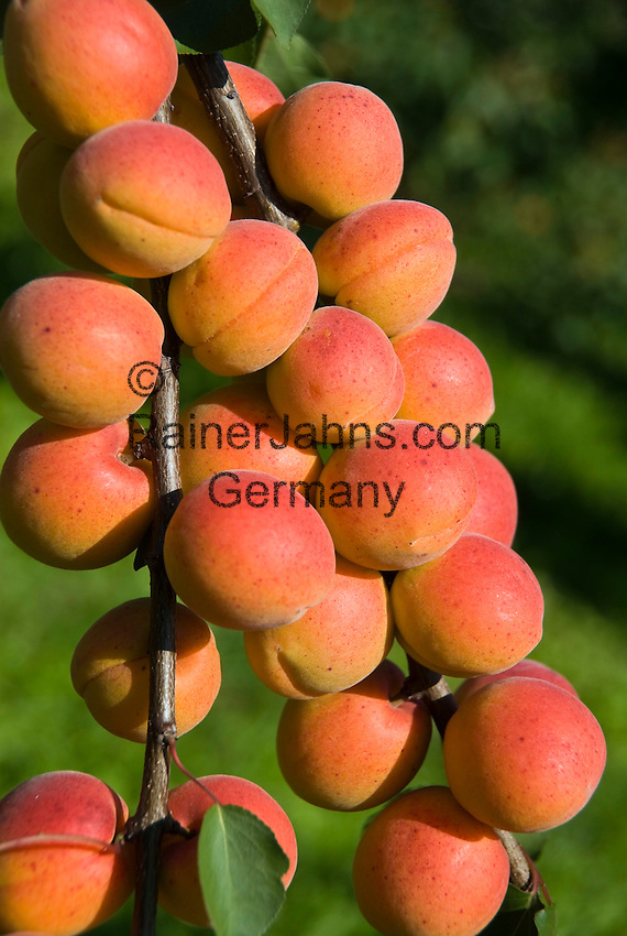 Austria, Lower Austria, Wachau, Apricots (Prunus armeniaca), in Austria called Marillen, harvest time is July