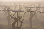 Old vine grapes on trellises in the morning fog near Herndon, California