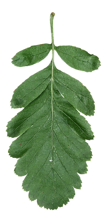 Swedish Service-tree Sorbus hybrida (Rosaceae) HEIGHT to 14m. Medium-sized tree. LEAVES To 10cm long, basal portion almost pinnate, apex more shallowly lobed. Lobe margins toothed near tips and leaf is grey-green above and woolly-white below. REPRODUCTIVE PARTS Fruits, to 1.2cm across, are rounded, bright red with small lenticels. STATUS AND DISTRIBUTION Native to Scandinavia, planted here for ornament.