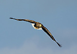 White Tailed Sea Eagle, Haliaeetus albicilla, flying, Hokkaido Island, Japan, japanese, Asian, wilderness, wild, untamed, ornithology, snow, bird of prey, in flight, blue sky, feathers, majestic, magnificent, gliding.Japan....