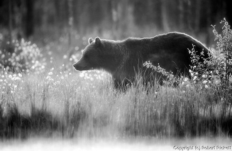 European Brown Bear, Ursus arctos arctos, Kuhmo, Finland, Lentiira, Vartius near Russian Border, foraging in forest, black & white
