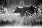 European Brown Bear, Ursus arctos arctos, Kuhmo, Finland, Lentiira, Vartius near Russian Border, foraging in forest, black & white