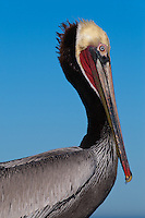 This California brown pelican (Pelecanus occidentalis californicus) is photographed in profile closeup.  The Pelican is seen against the blue California sky with the ocean/horizon just visible at the bottom of the frame, and has just returned from fishing.  A single drop of water is at the tip of its beak, ready to drop.  The water drop can be seen falling in a subsequent image.