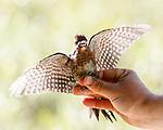 Bird Banding - Perazzo Meadows