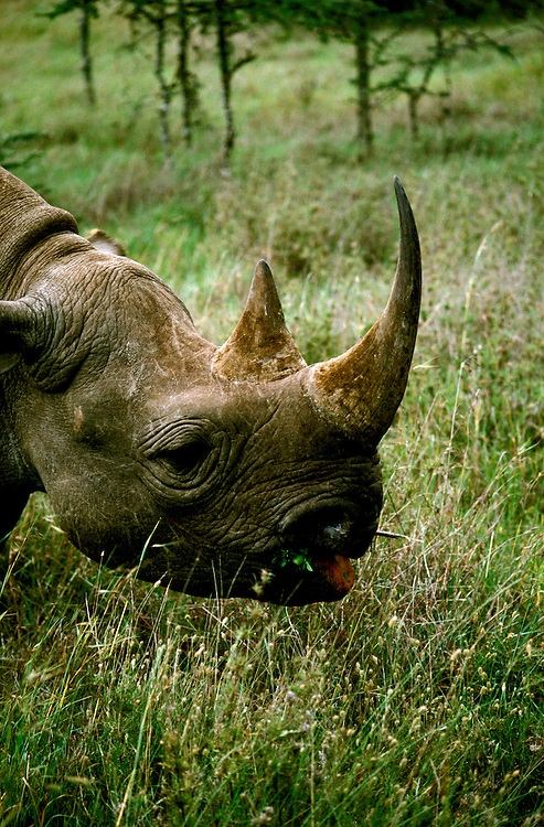 Kenya East Africa, Rhino at Sweetwater, wildlife    .Photo copyright: Lee Foster, www.fostertravel.com, photo kenyas102, 510-549-2202, lee@fostertravel.com