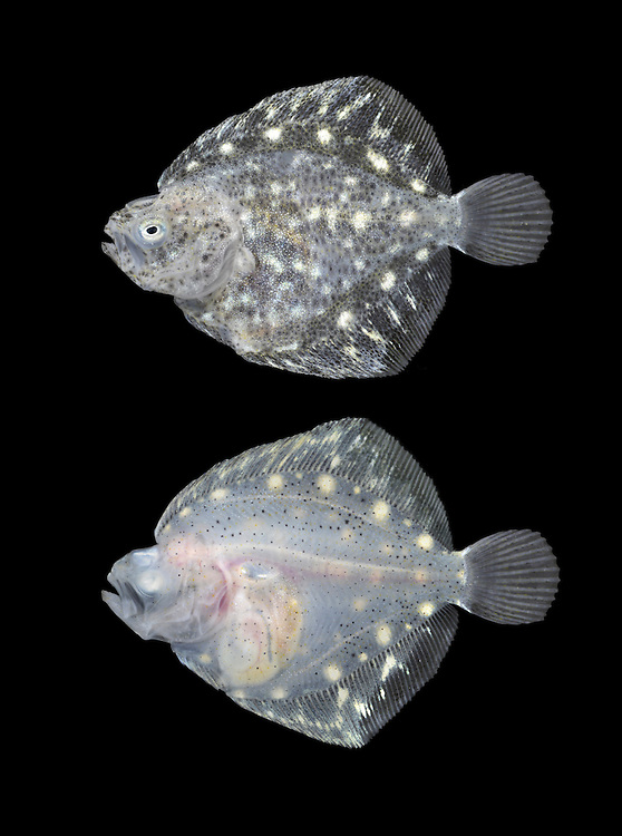 Turbot - Psetta maxima. Juvenile fish undergoing torsion and still swimming and orientated  in a conventional fish manner. Top image = left side, bottom image = right side