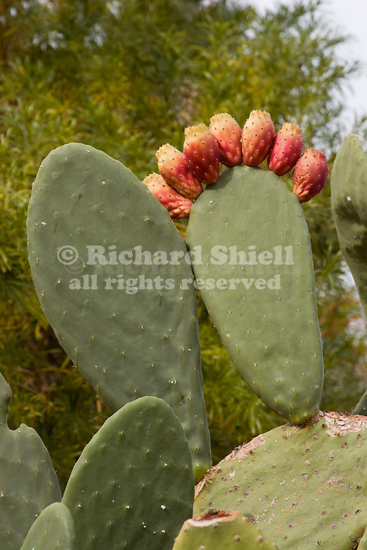 OPUNTIA FICUS-INDICA, INDIAN FIG, BARBARY FIG, PRICKLY PEAR CACTUS