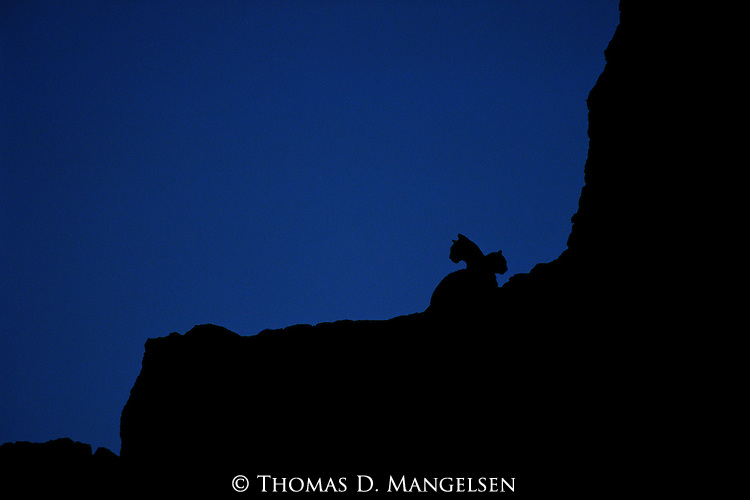 A mother and cub mountain lion silhouetted on a ridge line on the National Elk Refuge in Jackson Hole, Wyoming.