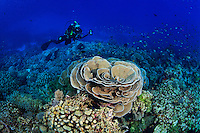 An underwater photographer photographs a large formation of Pavona Coral ( Pavona sp. ) on a coral reef off Wakatobi, southeasten Sulawesi, Indonesia.