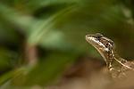 Common Basilisk (Basiliscus basiliscus), Costa Rica.
