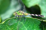 Great Pondhawk-Erythemis vesiculosa