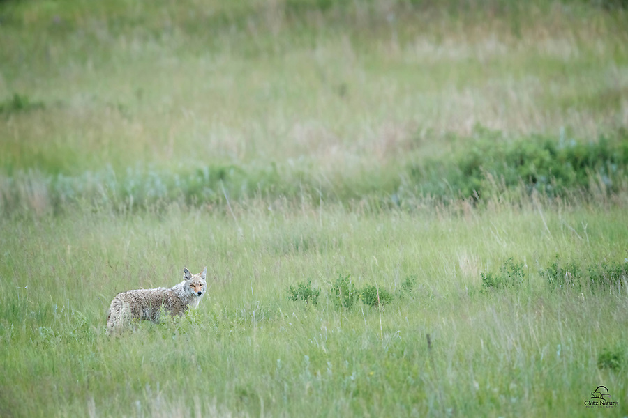 We spotted this lone Coyote (Canis latrans), who was eyeing a meadow full of prairie dog burrows from the high vantage point of the road.  The Coyote ran away from us, down to the meadow, but it kept a careful eye on us.  Wind Cave National Park, South Dakota.