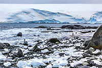 Gentoo Penguins on the shore of Port Lockroy, the British Museum and Post Office on Weincke Island in the Palmer Archipelago near the Antarctic Peninsula.