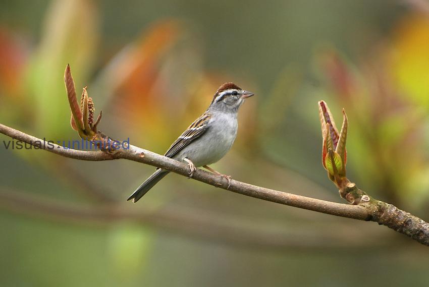 Sparrow, Belize
