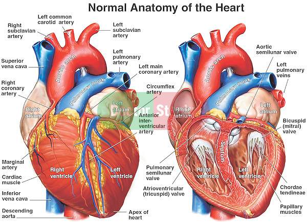 anatomy of the heart | doctor stock, Human Body