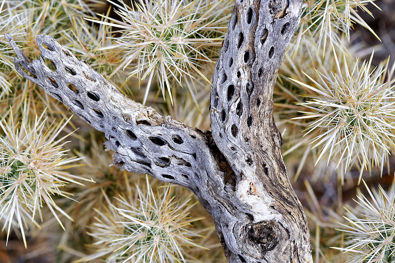 Cholla cactus with dead branch. Joshua Tree National Park. California
