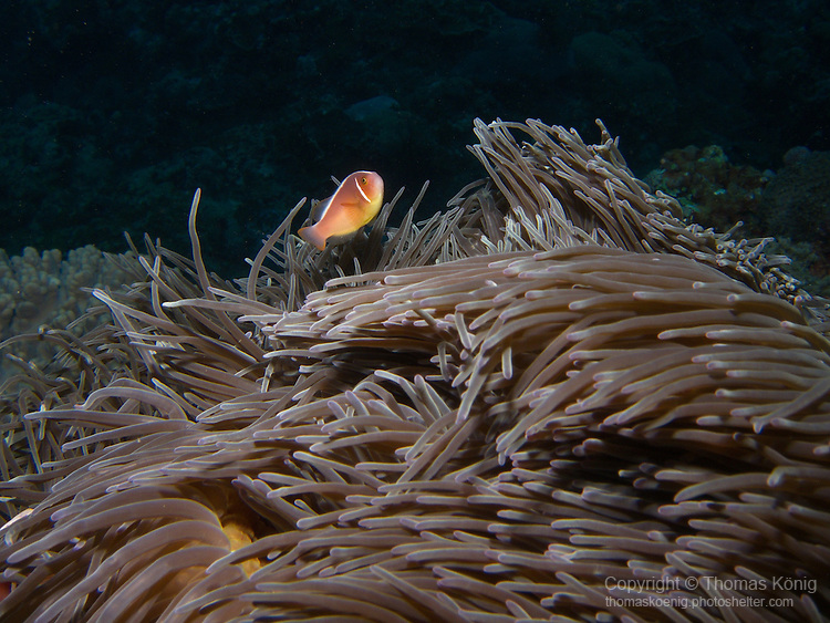 Lighthouse, Green Island -- Pink anemonefish on its anemone.