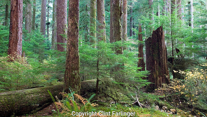 old growth rain forest in Sol Duc valley, Olympic National Park, Washington