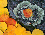 fall, color, Rocky Mountain National Park, Colorado, USA, aspen leaves, lichen, rock