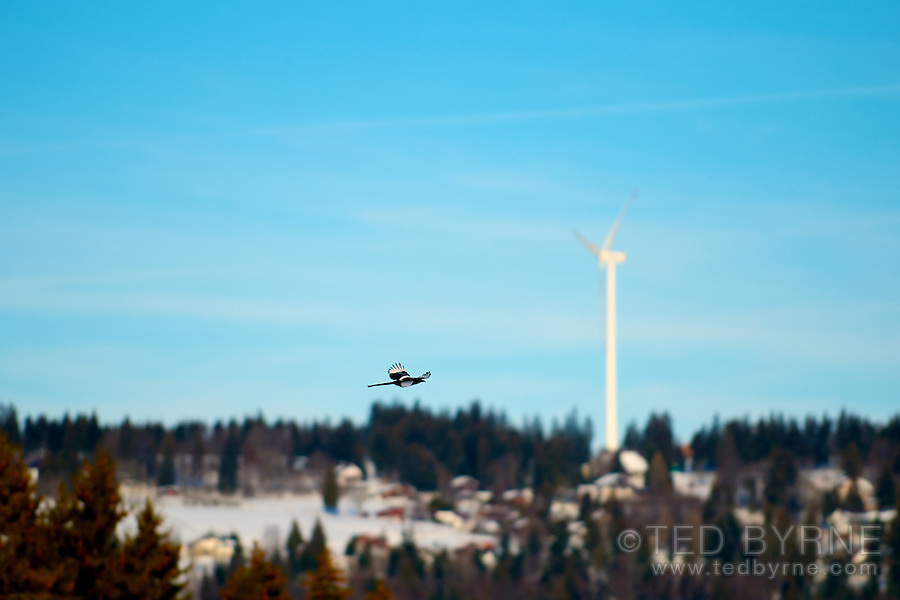 Magpie in flight with wind turbine in distance