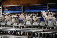 DEUTSCHLAND Meierei Kruses Hofmilch in Rellingen<br /> Schleswig-Holstein, Ziegenhaltung und Herstellung von Ziegenmilch