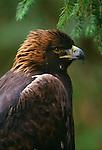 Golden eagle, Washington