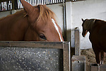 Horse stud, stables and tourist attraction at The Suffolk Punch Trust, Hollesley, Suffolk, England