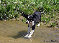 0730-0835  Tricolor English Springer Spaniel Puppy Jumping in Water, Canis lupus familiaris © David Kuhn/Dwight Kuhn Photography.