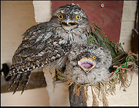 BNPS.co.uk (01202) 558833<br /> Picture: Peter Willows<br /> <br /> Tawny Frogmouth dad Gerben is 198-years-old, with chick Willow<br /> <br /> These old birds are thought to be the oldest parents in the world with their combined ages of a staggering 372 years. The two Tawny Frogmouth birds from Australia have recently hatched their eighth chick despite their impressive ages. Experts believe the oldest of the breed in captivity was 30, which means that the plucky male bird named Gerben has already beaten the previous record with his impressive 33-years, which translates to an incredible 198 in human years. Tawny Frogmouths - Podargus strigoides in Latin - are only expected to live for an average of up to 14 years in the wild. The duo live at Paultons Park near Romsey in Hampshire with their nine-week-old chick Willow, who experts hope will follow in her parents' footsteps.