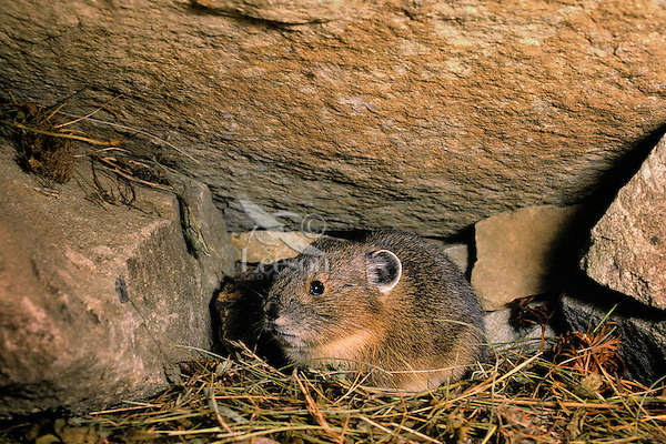 PIKA inside rockpile - Ochotonidae princeps - alpine resident that neither hibernates nor migrates .  Stores dried plants inside rock pile for winter food.  Cascade Mountains. British Columbia, Canada.