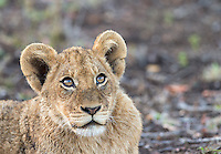 A lion cub stares intently at a passing bird.