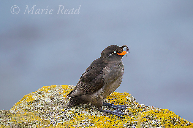 Crested Auklet (Aethia cristatella) adult in breeding plumage, St. Paul Island, Pribilofs, Alaska, USA