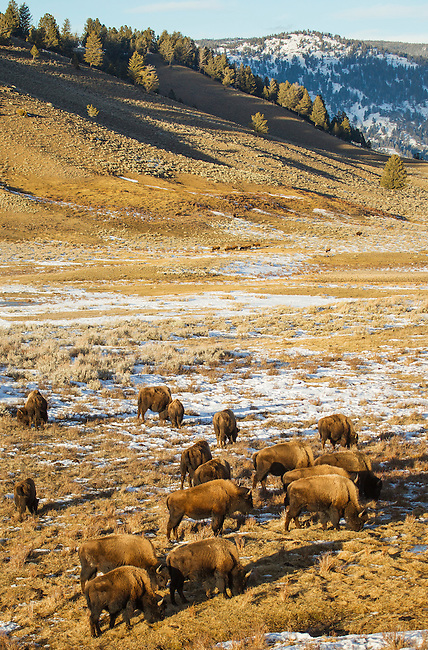 A herd of bison grazes on meager grasses in winter in Yellowstone National Park in Wyoming, USA, on Feb 8Th 2015. Photo by Gus Curtis.