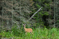 White-tailed deer (Odocoileus virginianus) on shore of Lake of the Woods<br />
